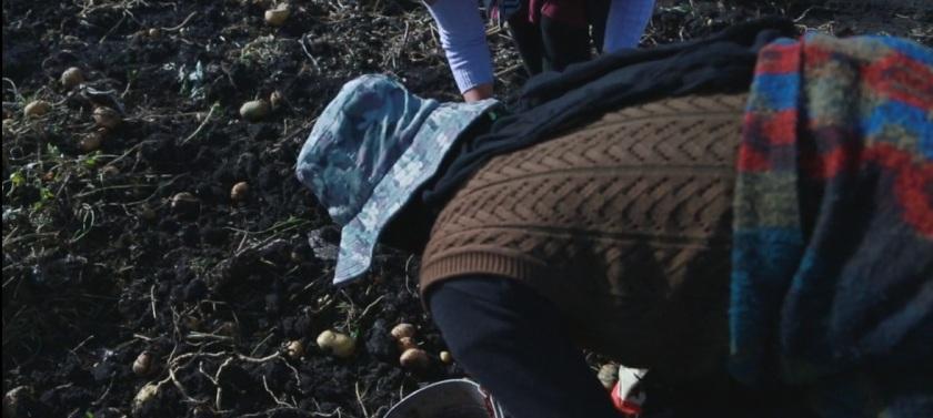 colheita de batatas