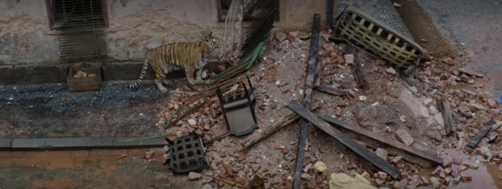 Tigre percorrendo os escombros